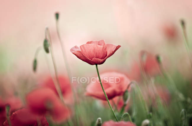 Poppy field, red flowers growing in meadow — Stock Photo
