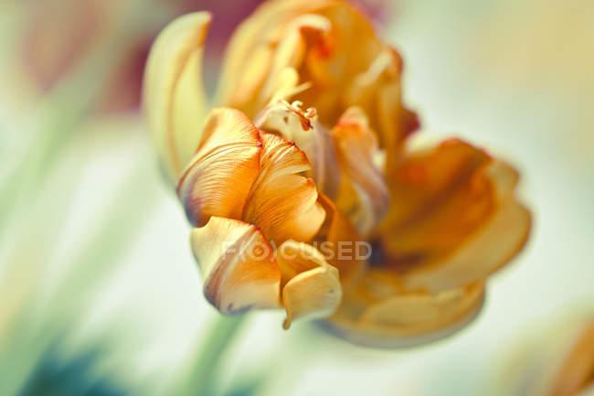 Yellow tulip flower petals — Stock Photo