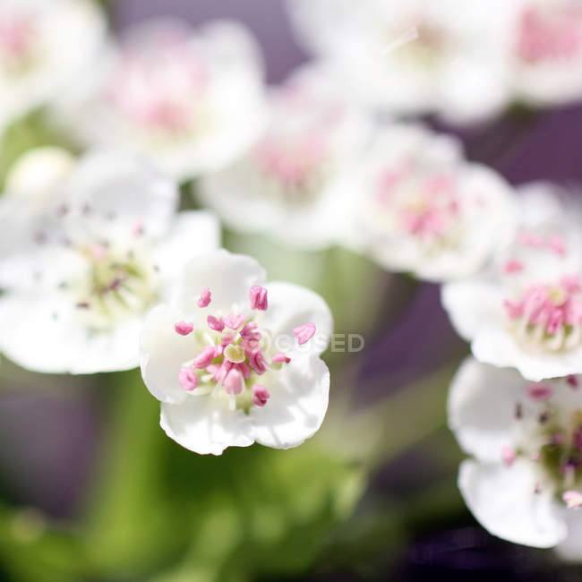 Flor lilás flor no ramo de árvore — Fotografia de Stock