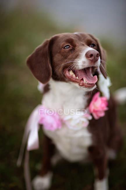 Cane di razza mista marrone con fiori sul collo — Foto stock