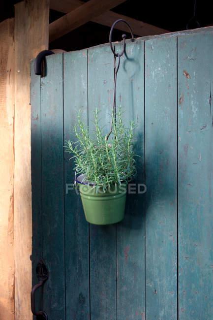 Verde romero fresco en balde colgado en pared de madera - foto de stock