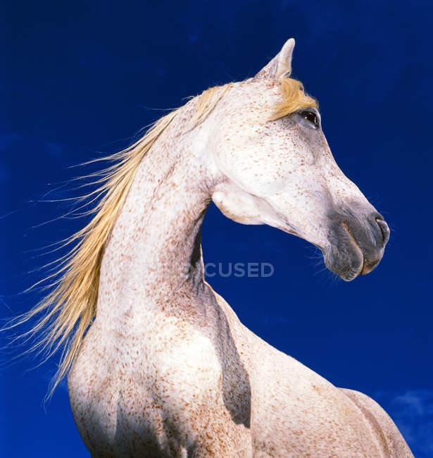 Cavalo cinza contra o céu azul, olhando para longe — Fotografia de Stock