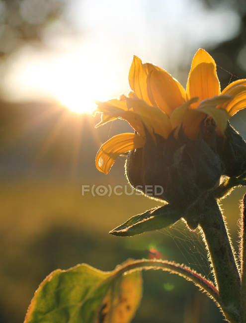 Testa di girasole giallo che cresce in campo, raggi di sole — Foto stock