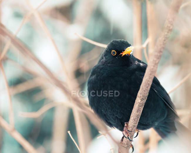 Blackbird turdus merula outdoors on tree branch — Stock Photo