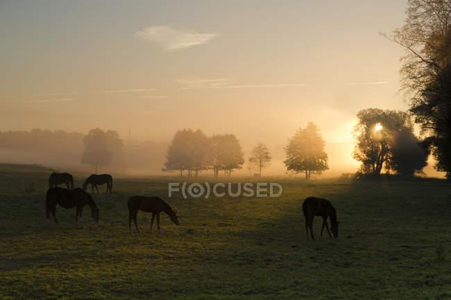 Manhã cedo no campo com cavalos e árvores com raios solares — Fotografia de Stock