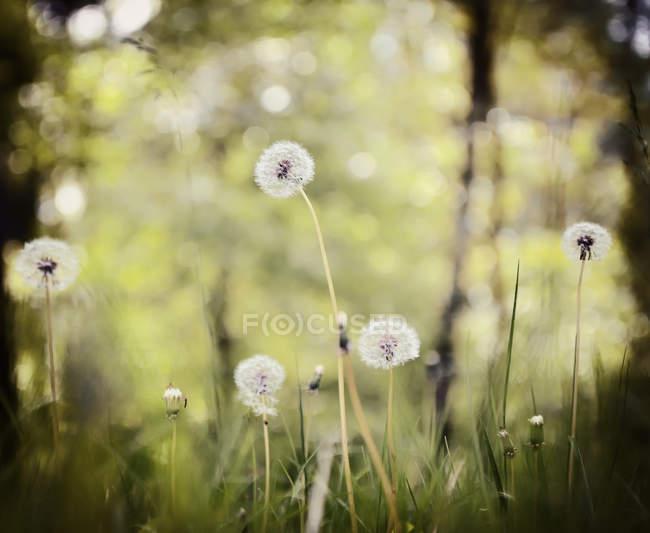 Löwenzahnpflanzen wachsen auf der Wiese, Sommertag — Stockfoto
