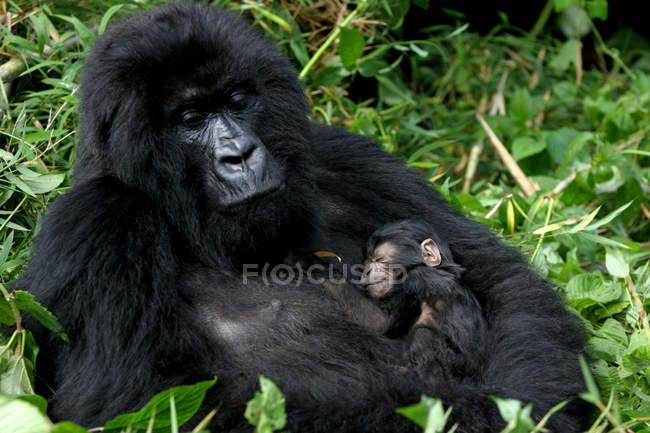 Baby monkey в руках мавпи, тварин в лісі — стокове фото