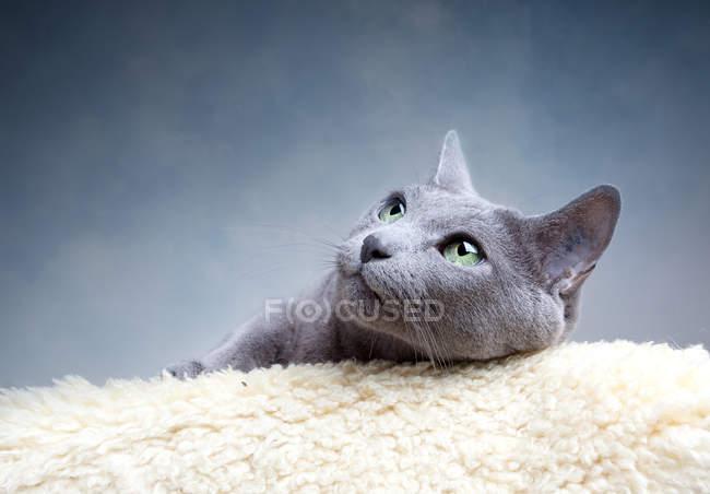 Gato cinzento deitado no tapete de pele de carneiro e olhando para cima — Fotografia de Stock