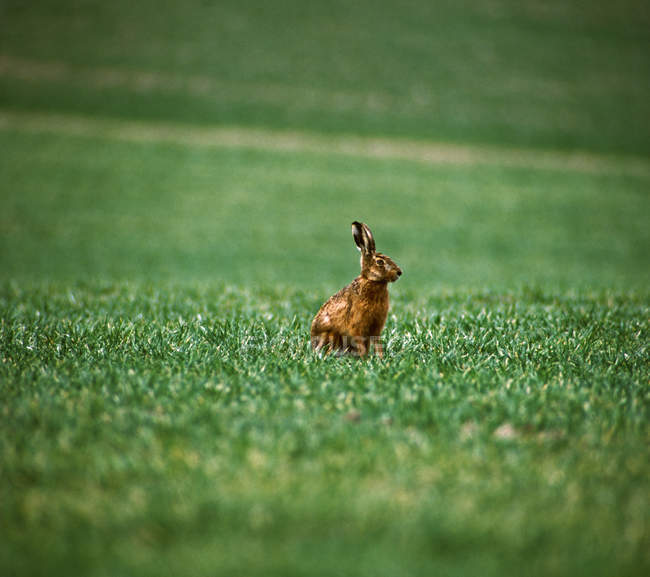 One rabbit, hare on green grass lawn — стоковое фото