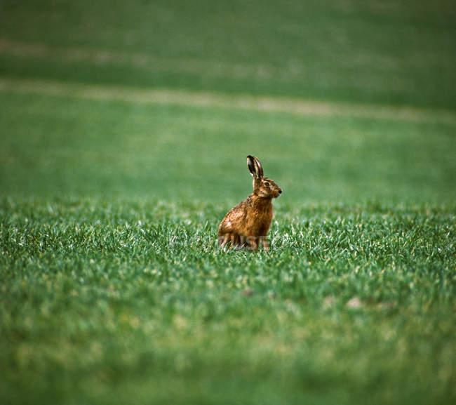 Un coniglio, lepre sul prato di erba verde — Foto stock