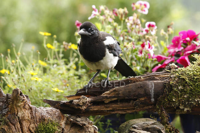 Pie européenne oiseau en plein air dans le jardin avec des fleurs — Photo de stock