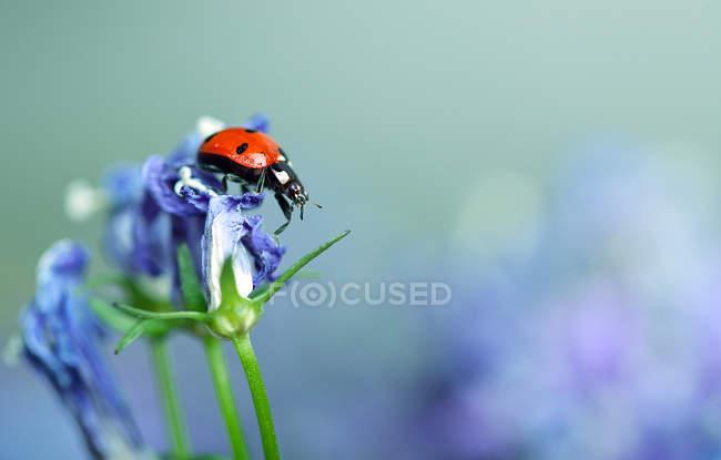 Lady Beetle sitzen auf Blüten Blütenblätter, Marienkäfer — Stockfoto