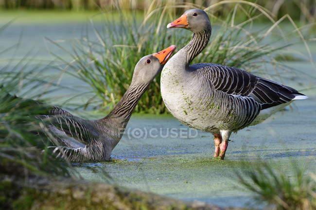 Серый гуси птицы, птицы ухаживания — стоковое фото