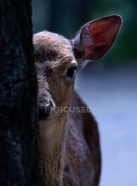 Fawn hiding behind tree trunk outdoors — Stock Photo