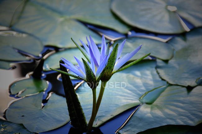 Blossom blue water lily in pond water with leaves — Stock Photo