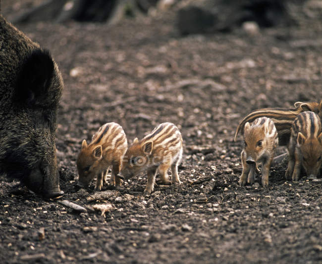Wild piglets animal family — Stock Photo