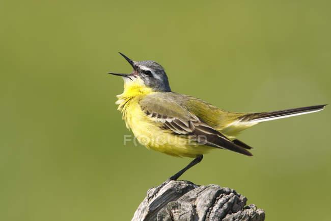 Queue d'aigle jaune avec bec ouvert chantant — Photo de stock