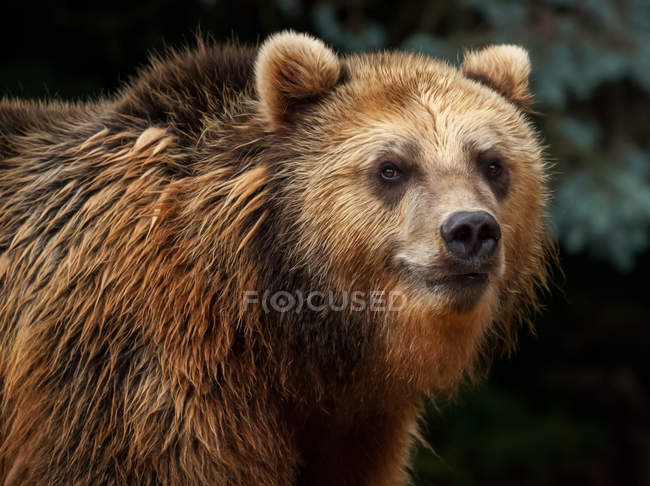 Brown grizzly bear looking in camera outdoors — Stock Photo