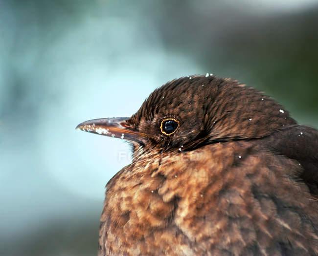 Melro-preto na neve, fotografia de aves — Fotografia de Stock