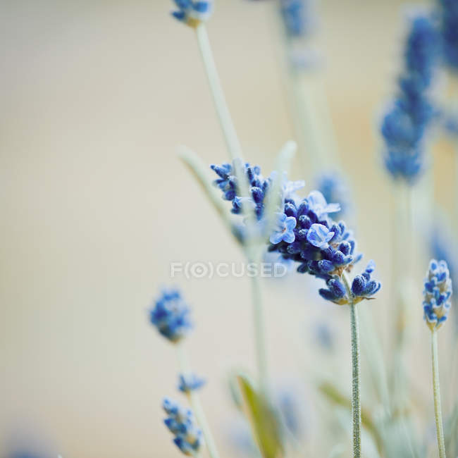 Lavender flowers, blossom blue flowers — Stock Photo