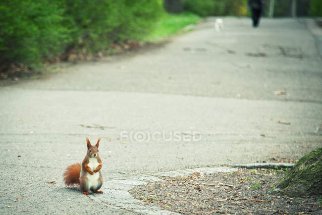 Red squirrel standing outdoors on road — Stock Photo