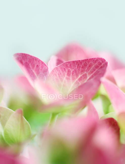 Pétalas de flores de hortênsias rosa — Fotografia de Stock