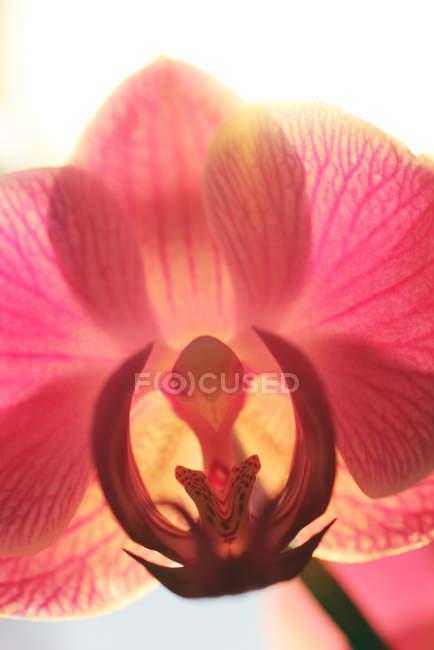 Tiro macro de pétalas de flor de orquídea — Fotografia de Stock