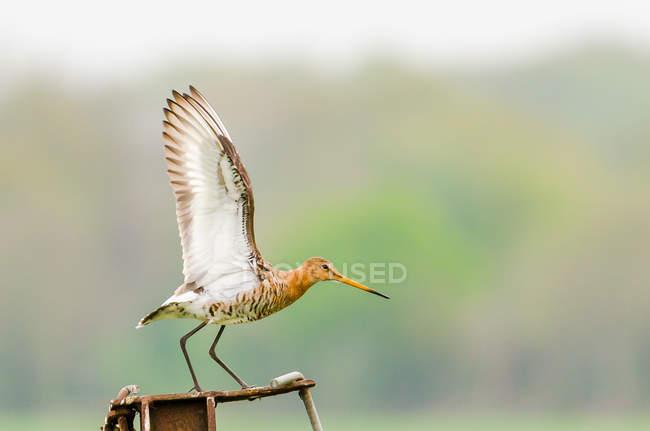 Берега бекаса птица с крыльями, готов к полету — стоковое фото