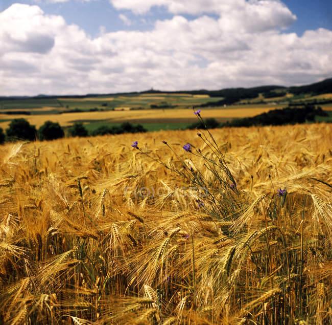 Волошки в сільській місцевості Золотий жита поля — стокове фото