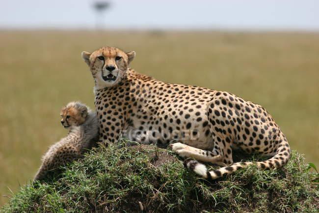 Гепард матері і дитини Гепард лежав на землі пагорба з трави в Африці — стокове фото