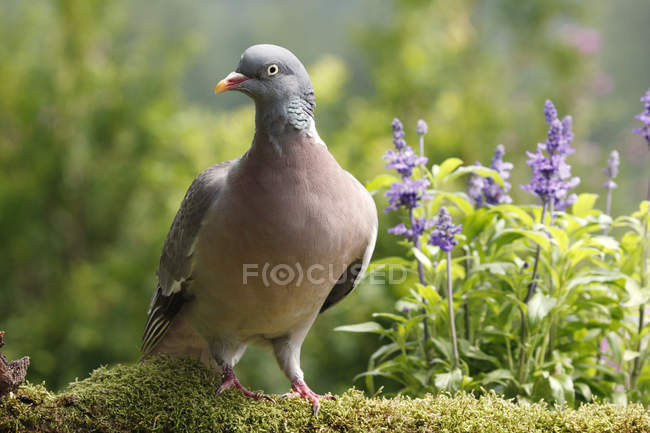 Pigeon bird in flora, moss and flowers — Stock Photo