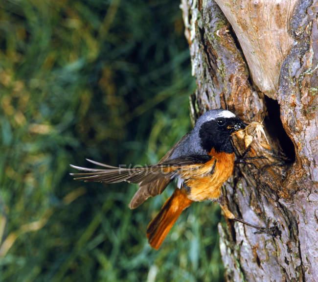 Красный черный Птица на ствол дерева — стоковое фото