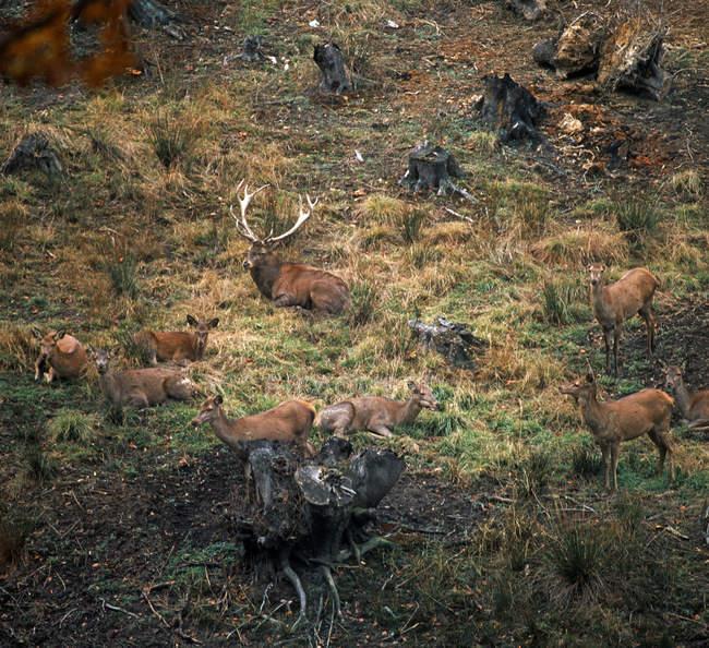 Deer animals herd in meadow — Foto stock