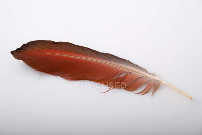 Bird feather isolated on white background — Stock Photo