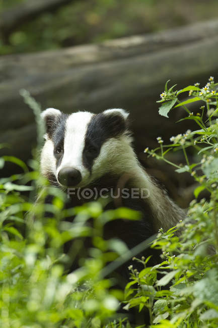 Badger sitting in green grass outdoors, closeup — Stock Photo