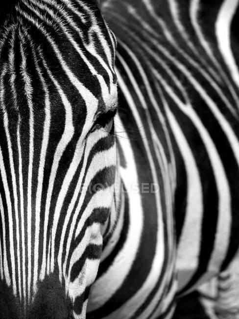 Зебра лицо закрыть вверх, полный кадр — стоковое фото