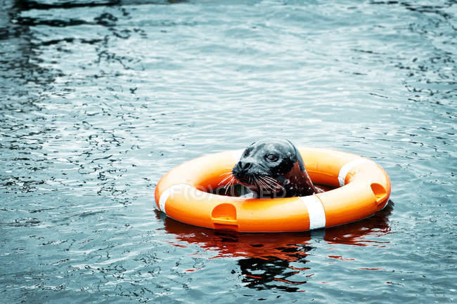 Grey swimming seal in sea water with Lifebuoy — Stock Photo