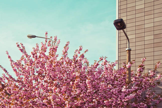 Spring season, blossom pink flowers on tree at house and street lamp s — Stock Photo