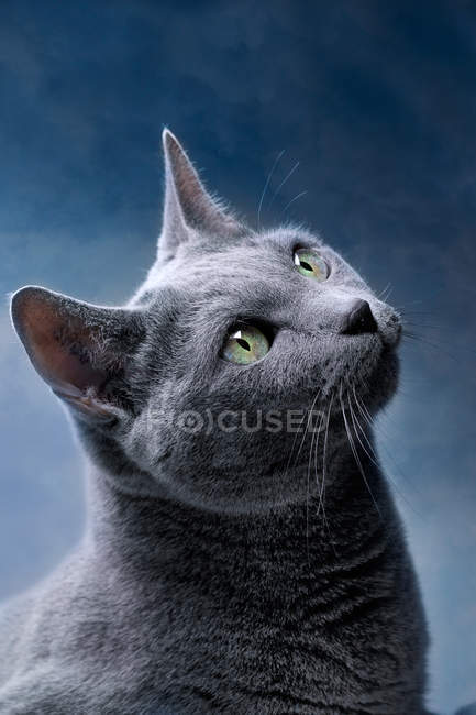 Gato gato de pelo curto cinzento olhando para cima — Fotografia de Stock