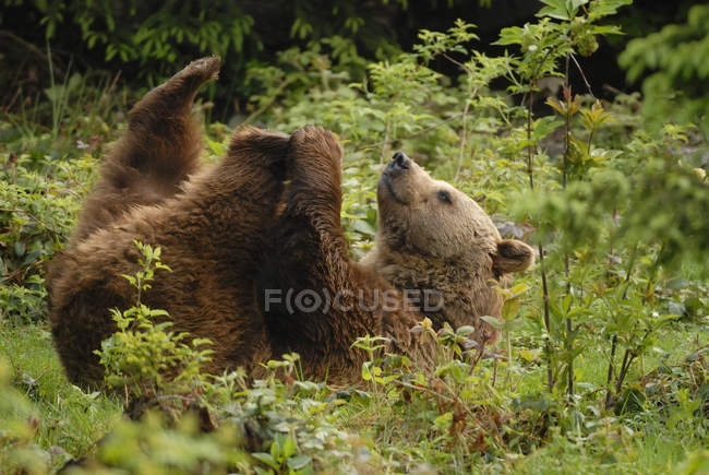 Brown bear lying on back in forest — Stock Photo