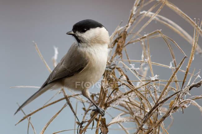 Черноголовая гаичка птичка — стоковое фото