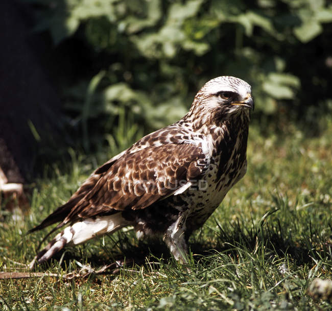 Buzzard raptor bird in grass — Stock Photo