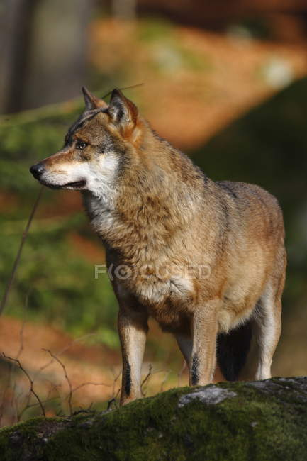 Wolf in summer forest, animal in wild nature — Stock Photo