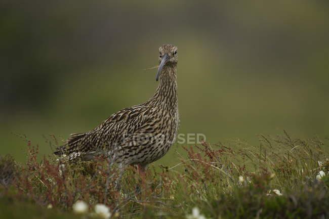 Curlew bird in field, Numenius americanus — Stock Photo