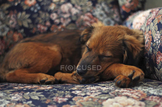 Sleeping little brown puppy — Stock Photo