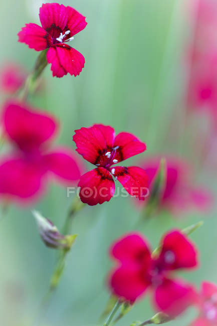 Red carnation flowers in field, Dianthus caryophyllus — Stock Photo