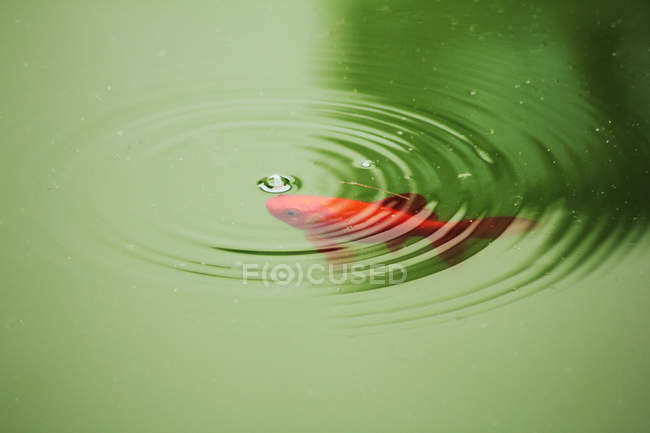 Red swimming fish in green pond water — Stock Photo