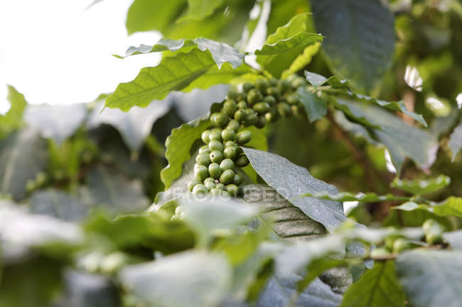Growing green coffee beans on plant with leaves — Stock Photo