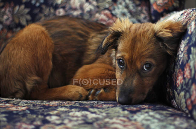 Adorable little brown puppy looking at camera — Stock Photo