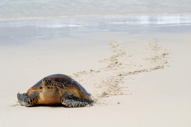 Sea turtle crawling on sandy beach — Stock Photo
